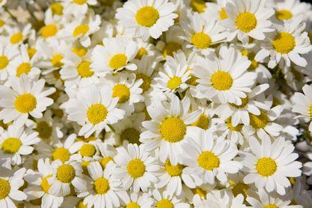 daisy Standard-Bild