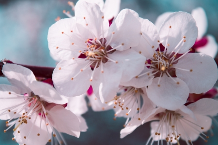 cherrytree: Blooming cherry-tree in a park during spring Stock Photo