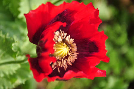 Close up shot of tender poppy flower photo