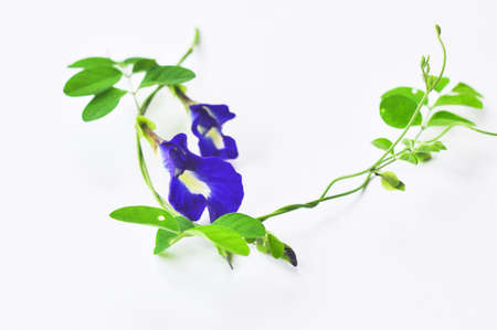 pea flower isolate on white background photo