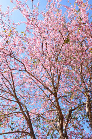 Beautiful sakura tree with pink flowers against blue sky.  photo