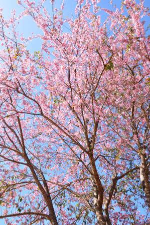 Beautiful sakura tree with pink flowers against blue sky.