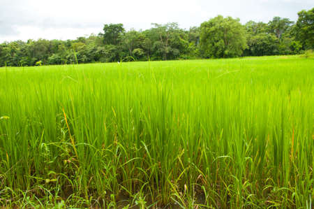 thailand rice field  photo