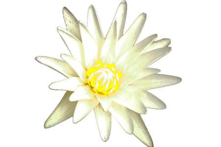nelumbinis: White lotus, isolated
