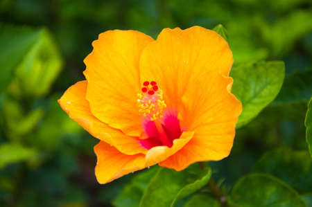 star shaped: hibiscus flower