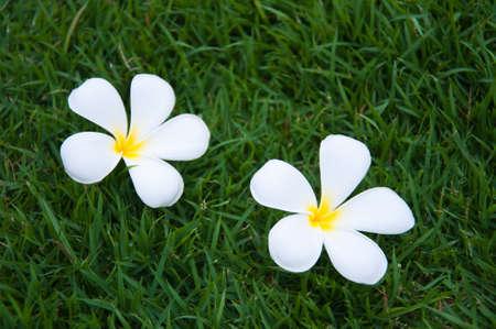 Leelavadee, Plumeria, tropical flower on grass field  photo