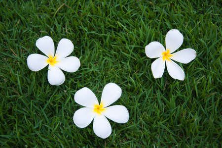 Leelavadee, Plumeria, tropical flower on grass field  photo