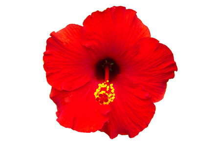 Red flower- Hibiscus rosa sinensis, isolated on white  photo