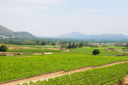 The vineyard in highland, south of Thailand  photo