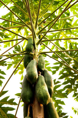 Green papaya on tree  photo