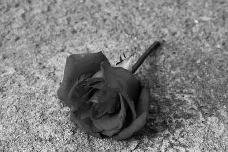 bereavement:  rose, black and white effect
