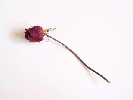 Dry rose flower Stock Photo