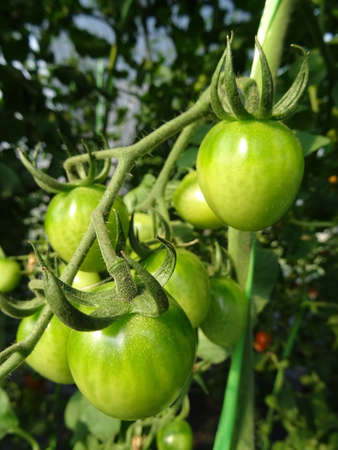 Young tomato on plant Stock Photo