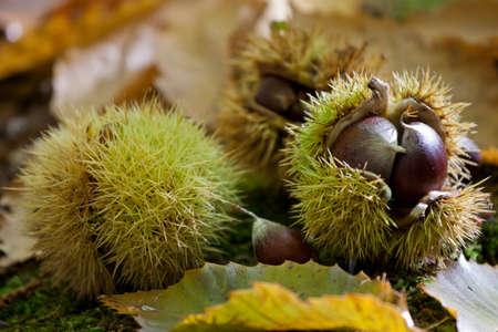 husks: Chestnuts in a husk