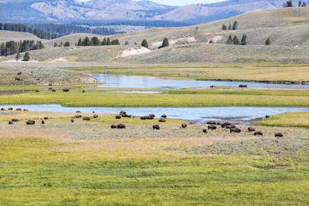 american bison: Bisons in Yellowstone National Park, Wyoming, USA