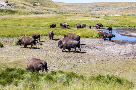buffalo grass: Bisons in Yellowstone National Park, Wyoming, USA