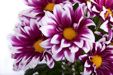 pink chrysanthemums closeup isolated photo