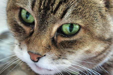 ojos verdes: Retrato de la hermosa gato con los ojos verdes Foto de archivo