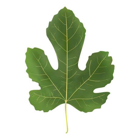 fig leaf: large green leaf fig on a white background