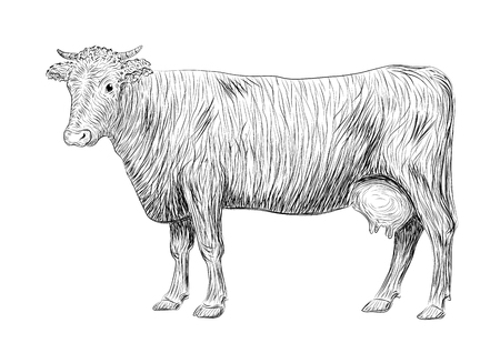herding: Cow, calf, bull cute muzzle animal mammals living full-length entire. vertical closeup side view outline black sign signboard icon sketch illustration in pen isolated on white background Illustration