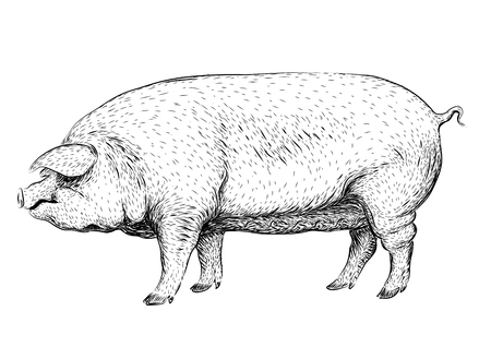 sow: Pig, swine, hog sow piggy piglet piggie pigling brawn boar grown big cute eco farm animal snout.  closeup profile side view black outline illustration isolated white background Illustration