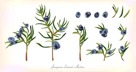 select: Juniper Branch and evergreen Leaves, blue Berries Seamless Pattern background. Natural plant set, elements collection in Watercolor style Herbal Vector illustration top view isolated white background.