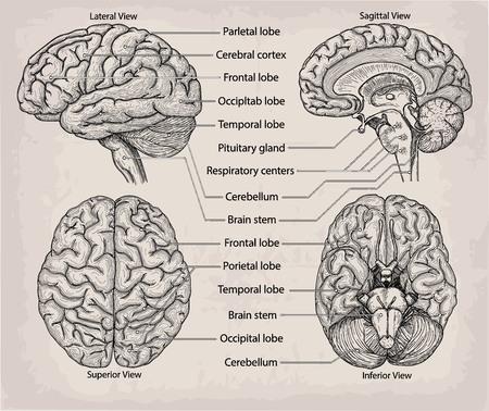 解剖学的な脳の器官。医学、ベクトル イラスト ポスター。解剖学的高詳細な医療研究教育情報グラフィック バナーです。名前付きの葉の部分と、