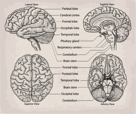 Anatomical Brain organ. Medicine, Vector illustration poster. Anatomical high detailed Medical study info graphics banner for education. Lateral, Superior, Sagittal Inferior view with named lobe parts