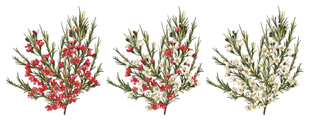 Chamaelaucium (waxflower) red and white flowers. Vector floral pattern set isolated on white background. Beautiful watercolor element for banners, invitation, greeting cards, flyers