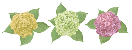 Yellow, green, pink flower of hydrangea, mophead, lacecap, panicle. Seasonal plants, leaf and herbs big vector collection.All elements are isolated and editable.
