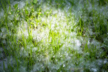 poplar fluff from cottonwood in the city on the plants Stock Photo