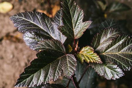 Physocarpus opulifolius Diablo Dor. Young seedling