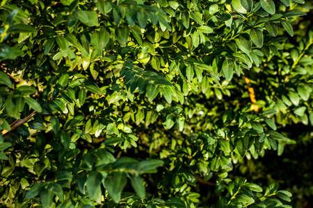Samshitbuxus in the garden. Ukraine, summer