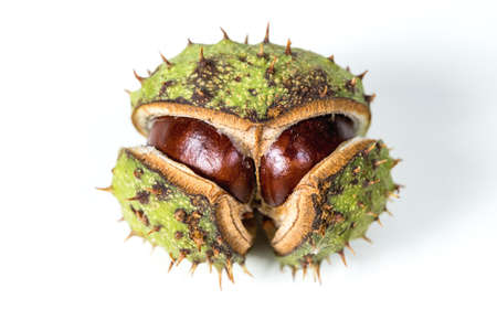 Chestnut on a white background in a skin. Фото со стока