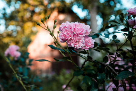 Roses are pink on a bush in a garden. A sort The Fairy.