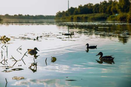 Wild ducks, drake, bird, wild bird, small bird, duck on the lake, leader, summer, vacation, season, travel, pond, park, recreation area, relax, nature