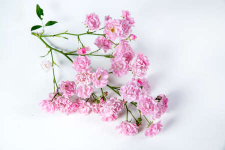 Beautiful rose flowers bunch isolated on white background. The Fairy.