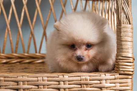 Cute puppy of miniature Pomeranian Spitz Zwergspitz or Dwarf Spitz on a chair. Small dog is two month old.