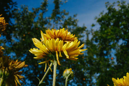 Yellow flowers of rudbeckia laciniata Goldquelle in the open
