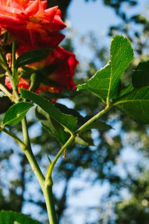 Red Rose on the Branch in the Garden. Emilien Guillot. english rose. Фото со стока