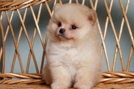 Cute spitz dog puppies . beige colour. small.