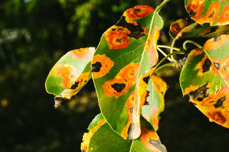 Red spots on the pear leaves. The tree is sick with a fungus