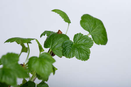 Cuttings of black currant on a white background. Cuttings.