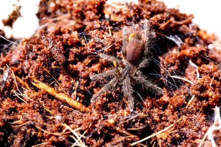 Beautiful tarantula ( euthalus sp red / homoeomma sp fire ) Stockfoto