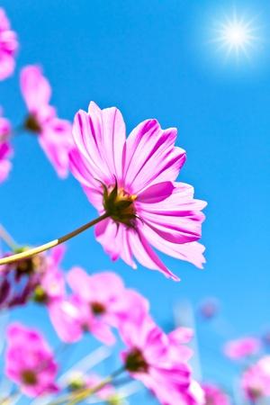 campo de margaritas: Amanecer y Cosmea flores Foto de archivo