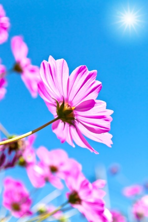 Cosmea flowers and sunrise