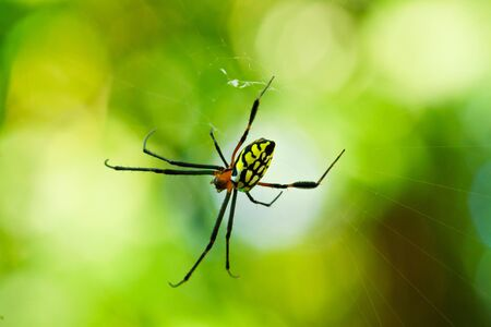 Close up of a golden orb spider in its web Stock Photo