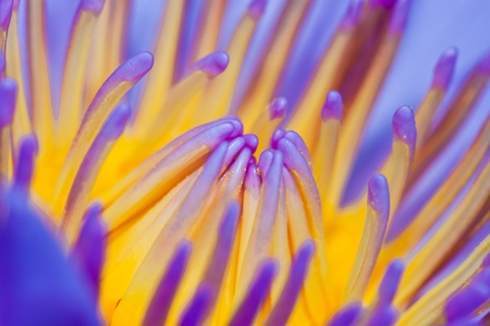 Purple water lilly or Lotus photo