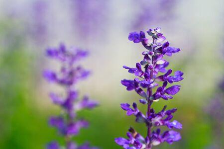 Salvia close-up photo