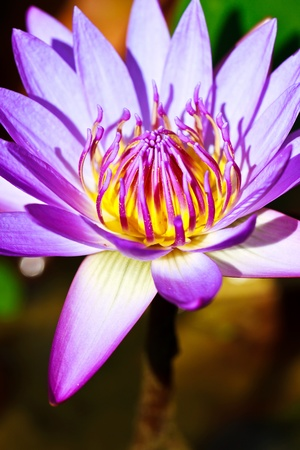 Beautiful purple water lilly or lotus on water Stock Photo - 12949182